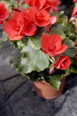 Begonian – en tantblomma som i modern miljö plötsligt känns helt rätt i tiden.