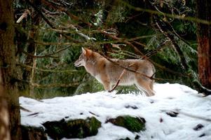 En boende tyckte att de såg varg i Brickebacken. Vargen på bilden bor dock på Nordens ark.
