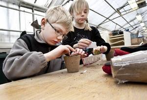 Vill ha körsbärstomater. Albin Engberg och Johanna Gabrielsson valde frön från körsbärstomater och petade varsamt ned dem i jorden.