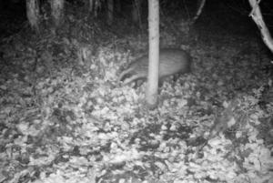 Övervakningskameran har fångat grävling på bild, ett djur som ofta förväxlas med mårdhund.