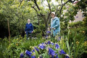 Lätt att andas. Göte och Birgitta Svanholm njuter av arbetet bland blåa aklejor i väntan på att irisarna ska slå ut. Deras trädgård är en grön lunga i Örebros centrum.