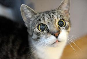 Katten skulle tas om hand, men hann rymma. (Katten på bilden är inte samma katt.)