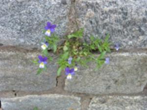 Våren är stark, Natt och Dag mellan stenar. Bilden är tagen på Gruvriset i Falun av Lena Tysk.