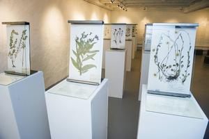 Karin Wiklund lyfter några mer eller mindre bortglömda snillen med koppling till Ångermanland, som Peter Artedi. 2014 visades en stor Artediutställning på Klas Engmanmuseet i Nordmaling.