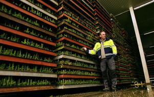 Roger Larm är chef på Holmens plantskola i Friggesund.