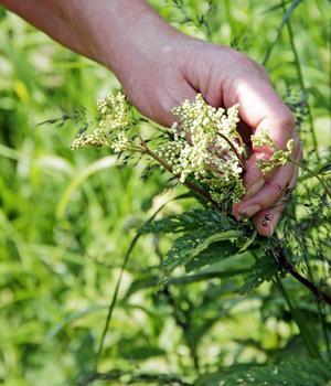 Älggräs är en mångsidig växt. Den kan användas till saft, sirap och salva.