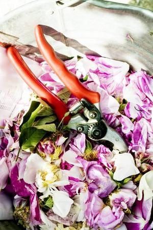 fallna rosenblad. Volontärerna plockade bort överblommade rosor så att rabatterna skulle se fina ut. Det blev snabbt en hel hink med fallna rosenblad.