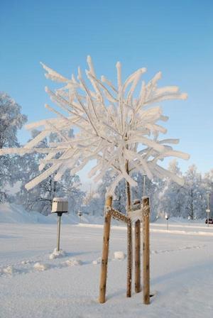 Fruset träd på Stadsdel norr, på parkering bakom John Bauer-gymnasiet. Foto: Jonas Engelheart