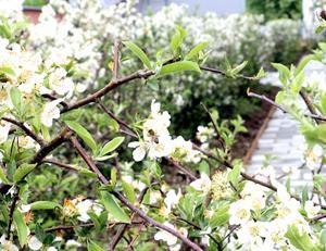 Ett bi suger i sig den söta nektarn och utför samtidigt det viktiga arbetet att pollinera.