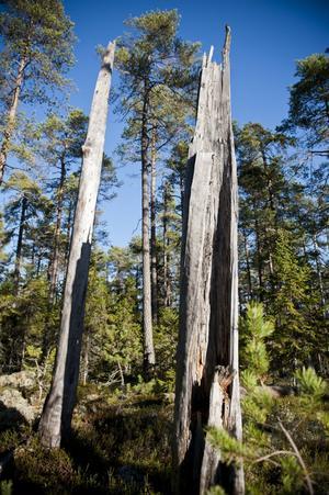 Död ved har blivit en bristvara i skogen och är ett måste för många arters överlevnad. Det gäller bland annat svampar, insekter, lavar och fåglar.