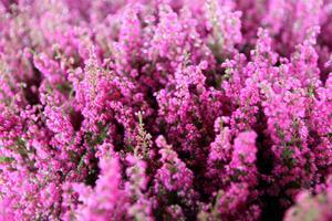 Ericaljungen är den vanligaste och populäraste ljungen bland höstväxter.