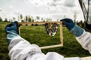 Många av ramarna som bina har påbörjat har en liten dropp– eller hjärtformad formation av vax och en typ av biklister, propolis, som är vax blandat med kåda, som så småningom ska täcka hela ramen. Det är på vaxet som honungen sedan läggs.