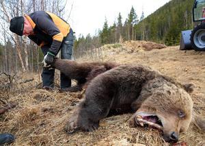 Björnhanen var mellan 10-15 år och vägde nära 200 kilo