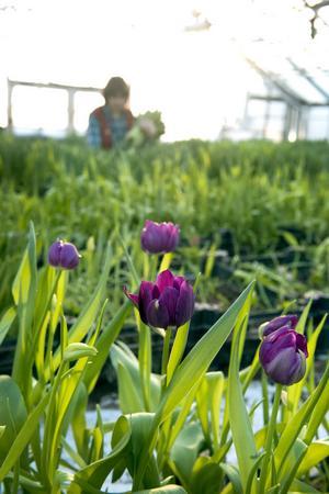 Vackra men inte fullkomliga tulpaner blir kvar...