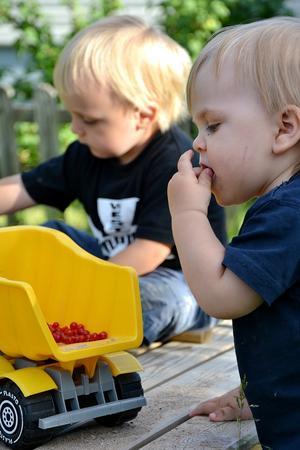 Storebror har lastat flaket med vinbär men dom fick inte vara ifred särskilt länge- lillebror var lite hungrig!