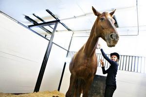 """På tå. Flera hundra kilo skiljer Clara Strandberg och hästen Dino åt, men det avskräcker inte. """"Hon är jättesnäll"""", säger Clara Strandberg och står på tå för att nå upp med ryktborsten."""