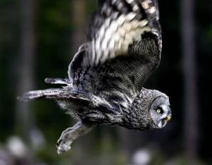Lappugglan är en ovanlig fågel i våra trakter och det finns en oro för att den ska försvinna. Därför släpptes ugglan i ett