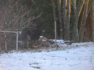 OTÄCK SYN. I lördags morse blev Iver och Jeanette Hansen  vittnen till hur två hundar stod och slet i resterna av ett rådjur i deras trädgård i Vallhov.
