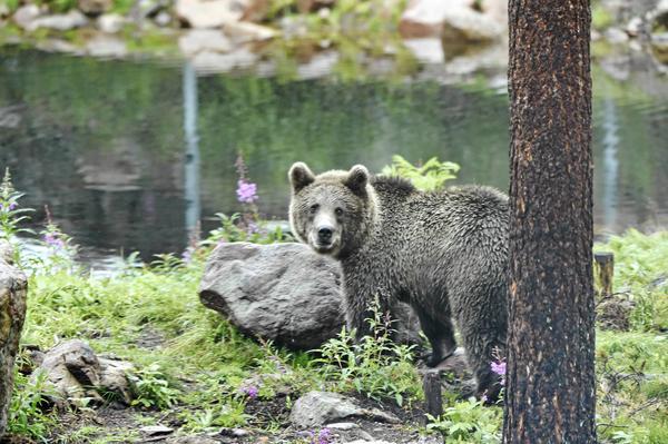 Orsa Rovdjurspark där en ung säsongsanställd man avled av de skador han drabbades av när en ung brunbjörn attackerade honom inne i ett hägn.