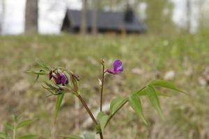 Västeråsen i Habborn erbjuder en riktig blomsteräng med bland annat vårärt.  Projektet i Härnösand är ett försök att återskapa sådana miljöer.