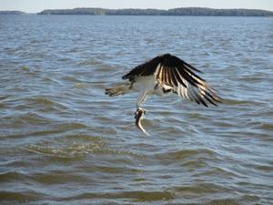 Den här fiskgjusen har lärt sig att det kan komma tillbaka fiskar i sjön,som har krokats på ett sätt som gör,att jag inte kan returnera dom levande i sjön igen.Han kan då dyka ung. bara 2-3 meter ifrån båten,och fiska upp dom till sina ungar.3 somrar har jag haft honom med mig,när jag pimplar efter gös och abborre ute i Nybynäs,Kärrbo i Mälaren.Ett härligt samspel mellan honom och mig.Jag kallar honom för