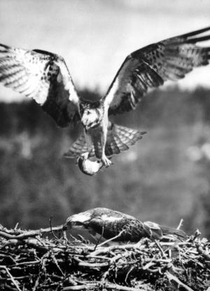 Det är säkert 50 år sedan jag tog bilden på fiskgjusarna. Kameran var en Hasselbladare med 25 cm optik.