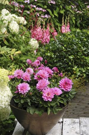 Dahlior. Plantera knölarna i krukor och ge dem en bra start. Foto: Blomsterfrämjandet