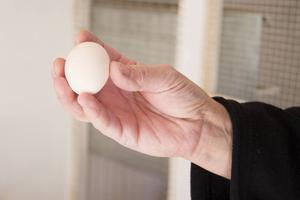 Man kan även ställa ut ägg. 44 gram ska ägg från en dvärgkochin helst väga.