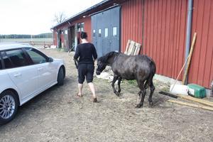 Efter att veterinären tagit sig en titt på hästen fick den ta sig en promenad.