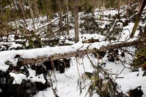 Skador i skogen kan öka möjligheterna för granbarkborrarna att föröka sig.