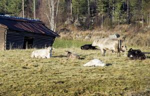 Den milda hösten och det fina vädret har underlättat för djuren. I december ska de kunna gå in i den nya ladugården.