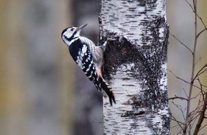 I SIKTE. Den vitryggiga hackspetten börjar trivas allt bättre i miljöerna kring Nedre Dalälven. Något som det häckande paret i Färnebofjärdens nationalpark är ett bevis på. Den här fågeln har dock fångats på bild i skogen utanför Mehedeby.