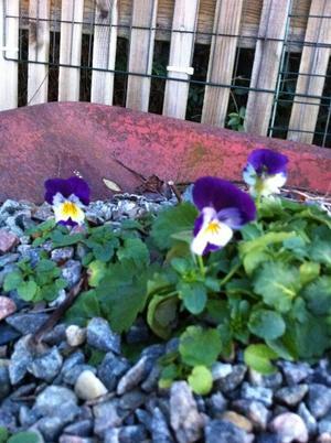 Den  här lilla blomman har på egen hand hittat sin plats i vår skottkärra och blommar ännu den 12 december då bilden är tagen. En riktig liten hjälte.