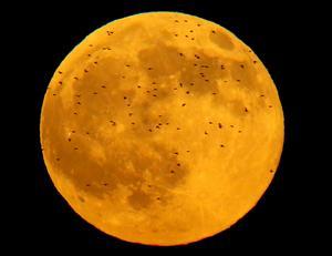 Det var fantastiskt att få bilder på Månen med en massa Tornsvalor i förgrunden.Jag vet inte varför Tornsvalorna eller Tornseglarna hade den här uppvisningen framför Månen. Dom flög förbi tre gånger och var sedan borta, häftigt var det hur som helst.