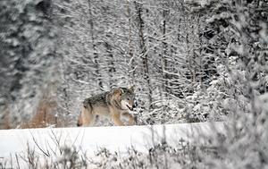 Den här vargen fotograferades 10 januari längs Mörttjärnsvägen mellan Åmot och Lingbo.