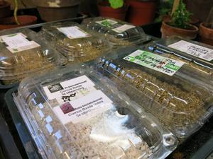 Förkultivering. Blomsterkornell och lejongap planterade i tomma vindruvsförpackningar – med stängda lock blir det som små växthus.