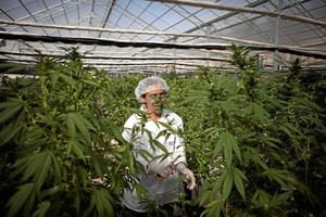 Cannabisodling.  I Israel är det förbjudet att använda cannabis men i medicinskt syfte är det tillåtet sedan början av 1990-talet. Det ges då till personer som är sjuka i cancer, Parkinson, MS med flera andra smärtsamma sjukdomar.