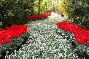 Keukenhofs blomsterpark är en fröjd för tulpanälskaren. Här har trädgårdsdesignern skapat              en flod av blommor. Foto:   Foto: Hélène Lundgren