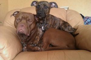 Hunden Angus 11 månader och Leon 5 ½ månad är gärnbrorsorna! Dom har väldigt mycket likheter med Timon och Pumpa i sättet dom för sig! Se bara här..:)