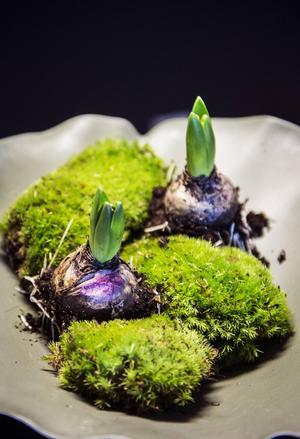 Mossa och hyacinter är grunden i ett av Amandas arragnemang.