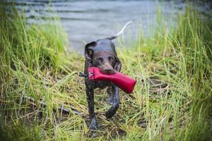 Duktiga simmare och många ivriga skall från hundarna när leksaken kastades ut i vattnet.