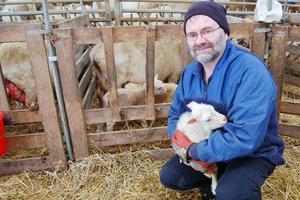 Björn och Margareta föder upp omkring 700 lamm från 300 tackor. Bilden är en arkivbild.