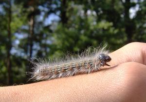Nu går vi mot ljusare tider!En larv jag fotat för några somrar sen.