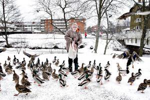 I åtta år har Eva Östlin matat änder på förmiddagarna. Alla dagar i veckan går hon till kanalen med brödbitar och spannmål.