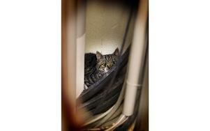 Här tittar katten fram ur sitt gömsle i museets förråd. Men nu vilar den ut i Linghed. Foto: Staffan Björklund