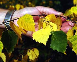 En annan forskare Fagersta-Posten talat med åkte igenom Avesta under söndagen och noterade även han att ovanligt många träd gulnat.