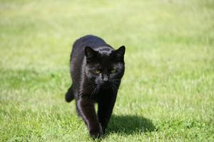 Vår katt Åke gick på gräsmattan . Han ser ut som en liten panter när han gick emot mig.