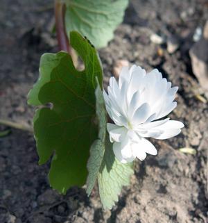 Blodört med sin kritvita blomma och skaft som ser ut som en blodåder.