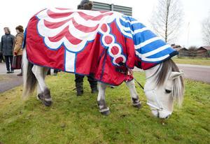 En livs levande Dalahäst, som också ska vara med i hästshowen i Stockholm, då målad i kurbits. Hästen heter Timus.