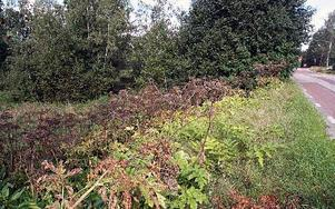 Området där de giftiga växterna frodats ligger längs gamla landsvägen och nära    flera bostadshus.